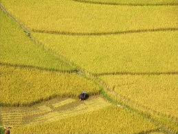 Rice field in Nghia Lo